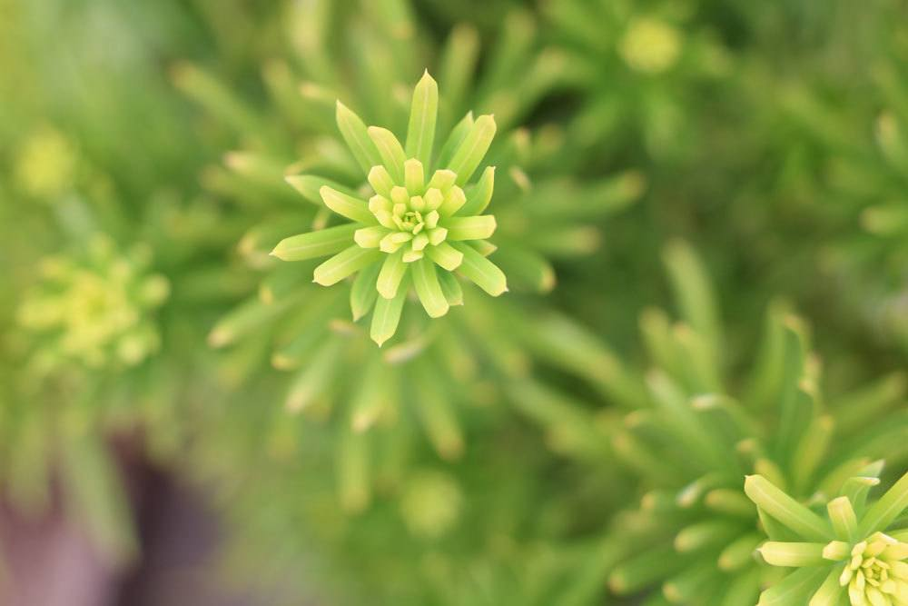 Cephalotaxus, Kopfeiben