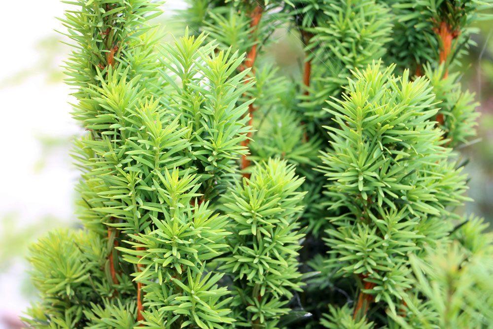 Taxus baccata Fastigiata, Säuleneibe