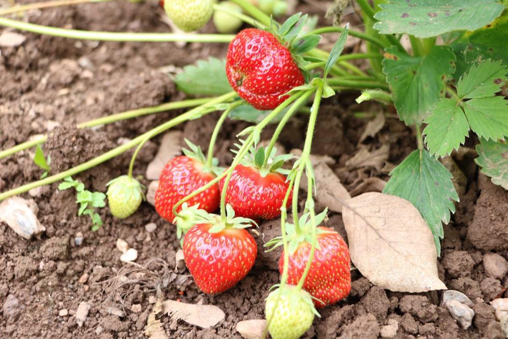 erdbeerpflanzen erdbeeren anbauen erdbeersorten und pflege. Black Bedroom Furniture Sets. Home Design Ideas