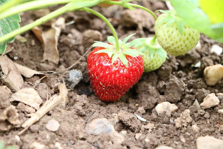 Erdbeerpflanzen