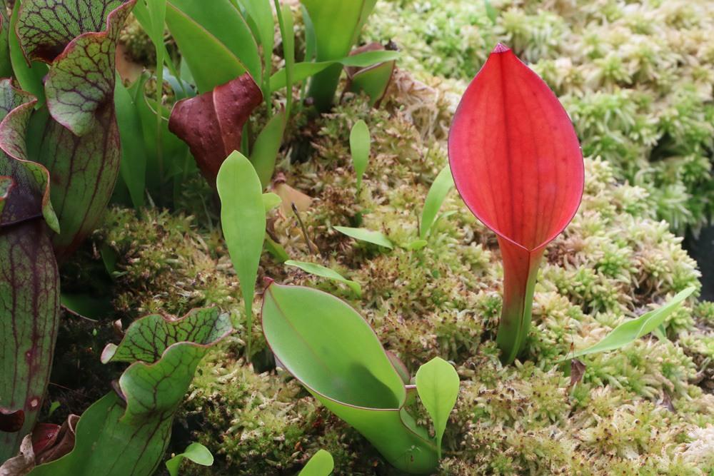 Sarracenia purpurea, Rote Schlauchpflanze