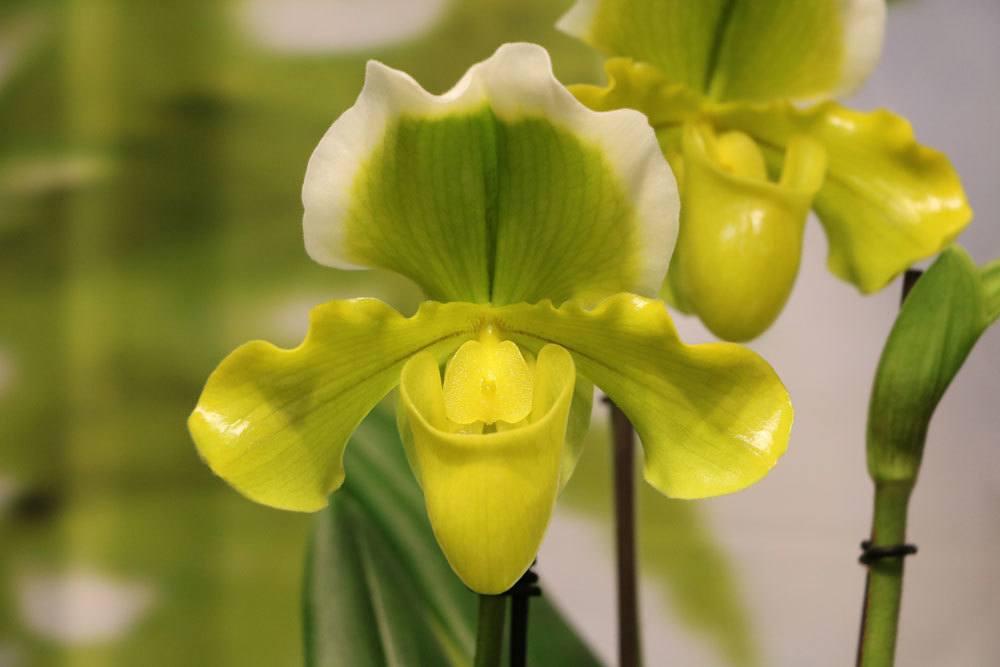 Frauenschuh Orchidee, Venusschuh, Paphiopedilum