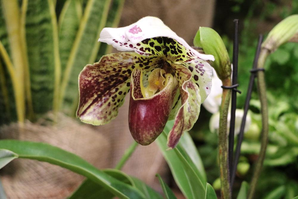 Frauenschuh Orchidee Venusschuh Paphiopedilum Pflege Von A Z