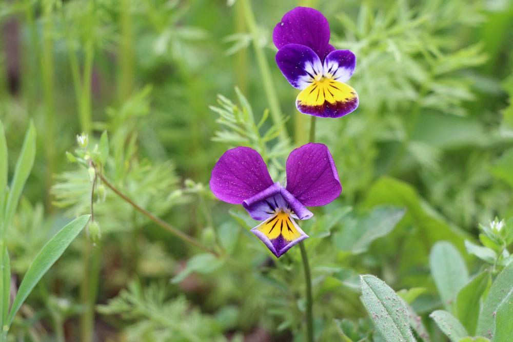 Stiefmütterchen, Veilchen, Viola tricolor