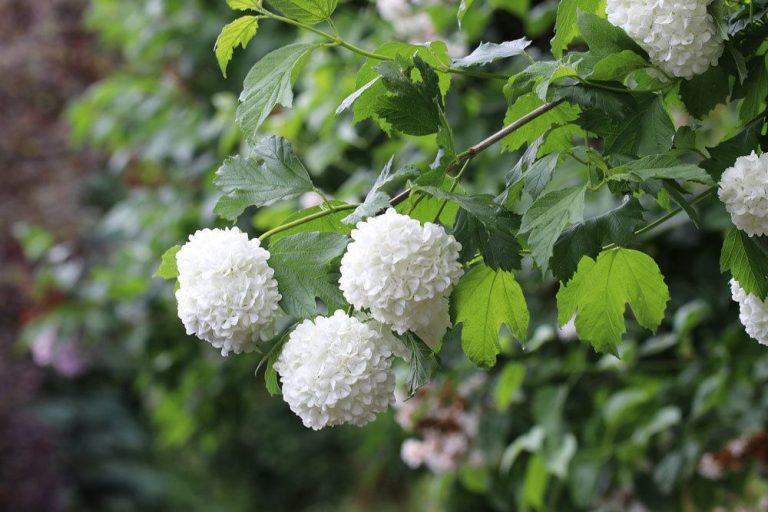 Gemeiner Schneeball, Viburnum opulus richtig pflegen