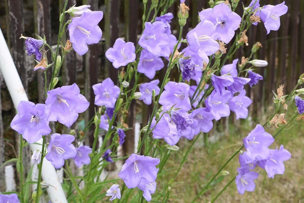 Glockenblume, Campanula persicifolia