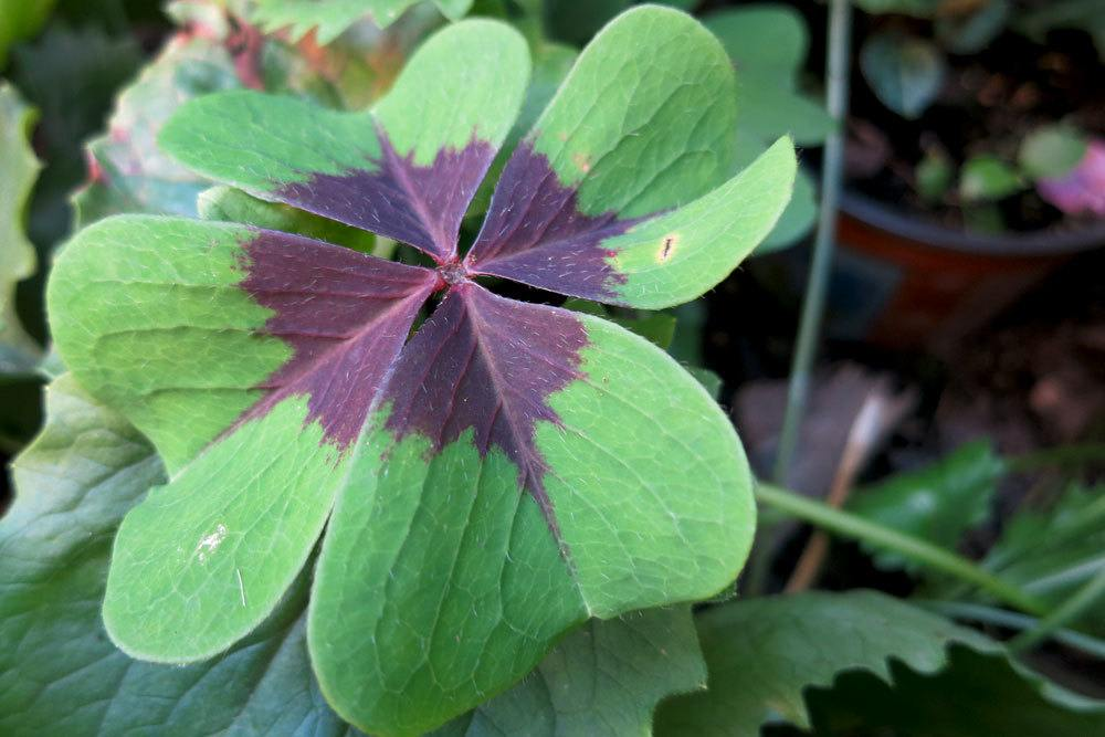 Glücksklee, Oxalis tetraphylla