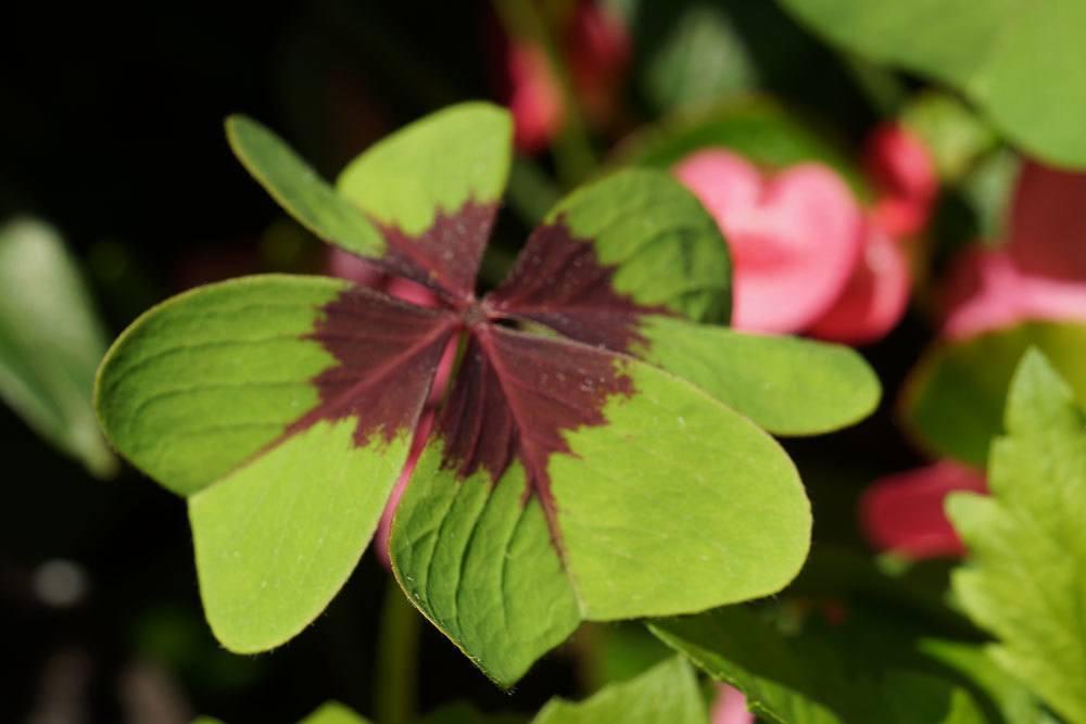 Gl cksklee gl ckskleeblatt oxalis tetraphylla anzucht for Blumenerde in mikrowelle