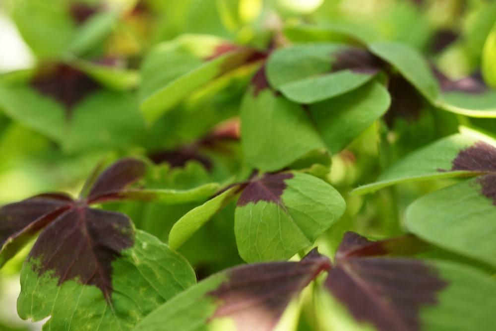 Glückskleeblatt, Oxalis tetraphylla