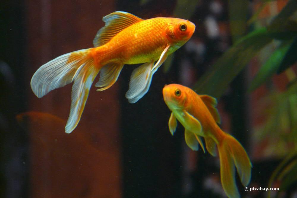 Goldfische als Zierfische