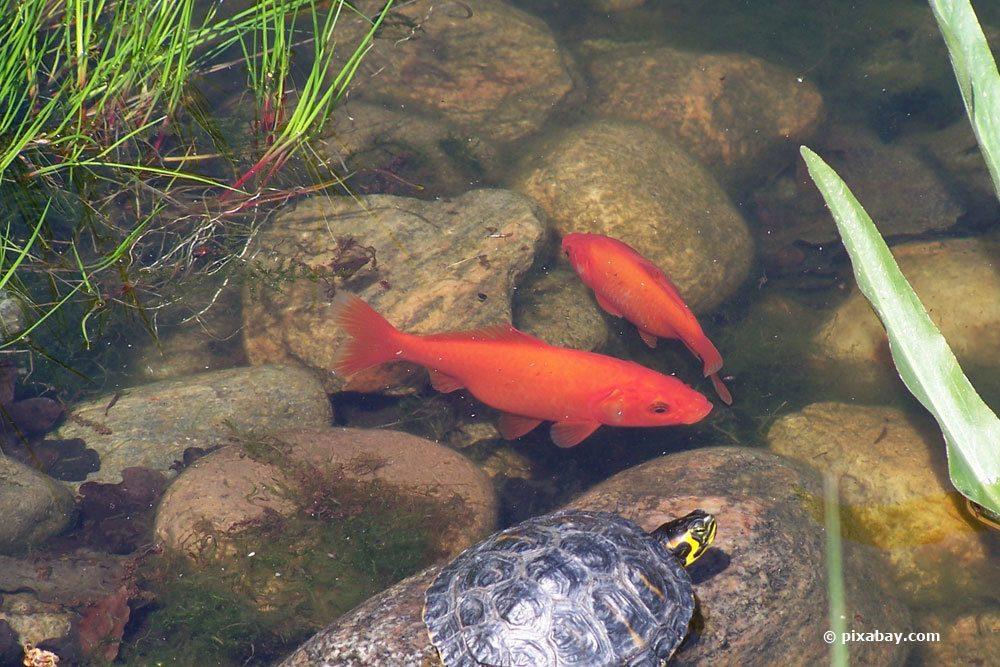 goldfische schnappen nach luft das zeigen ihnen die fische damit an. Black Bedroom Furniture Sets. Home Design Ideas
