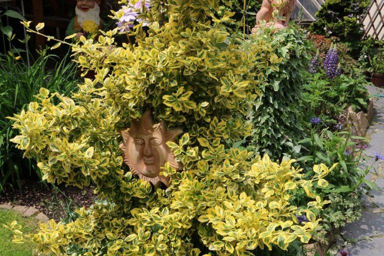 Goldliguster, Ligustrum ovalifolium