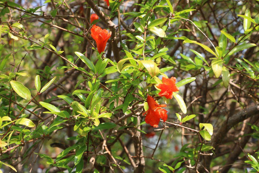 Ein Granatapfelbaum kann hunderte Jahre alt werden
