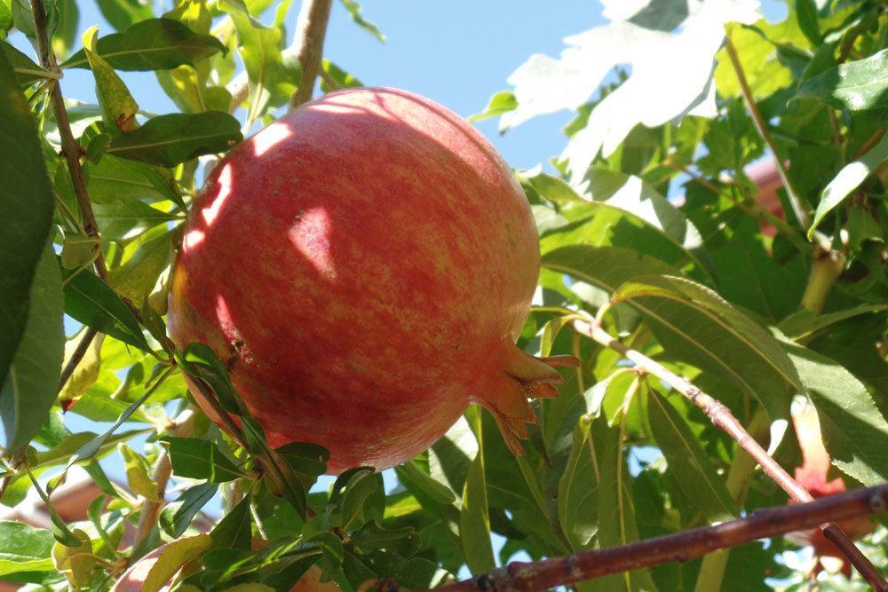 Granatapfelbaum, Punica granatum