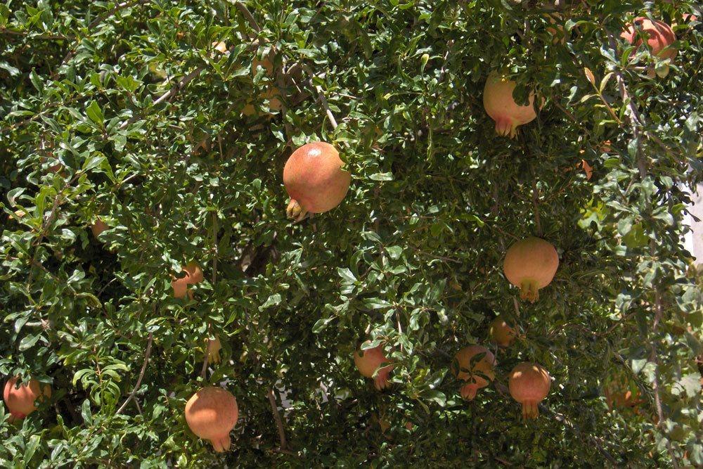 Granatäpfel sind die Namensgeber für Granaten