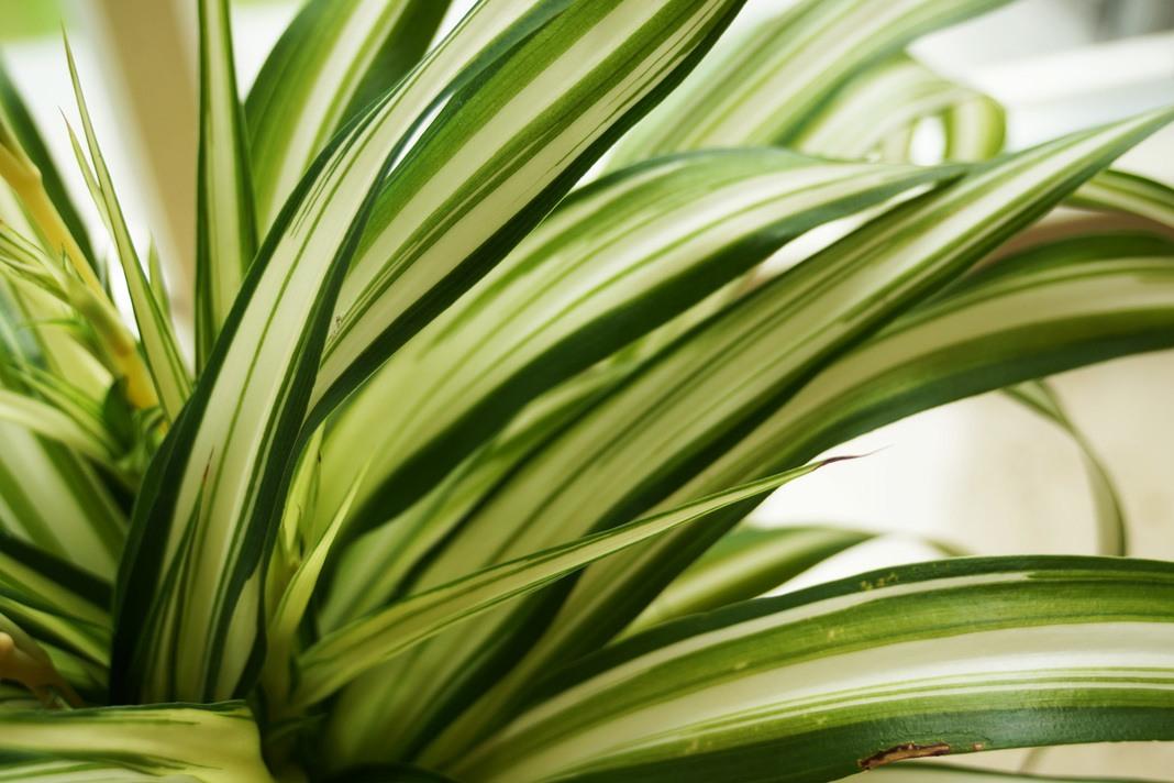 Pflege der Grünlilie