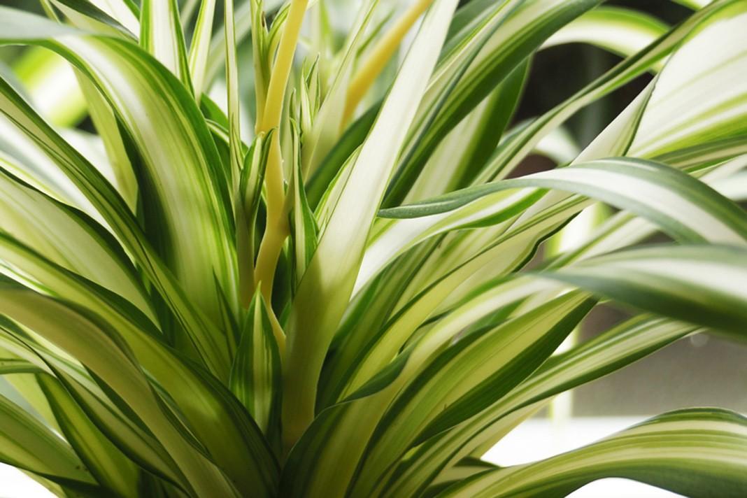Grünlilie pflanzen