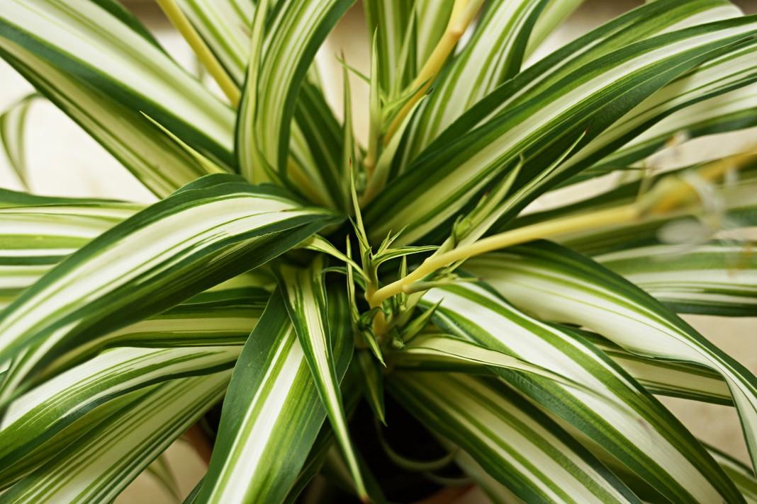 Chlorophytum comosum, Grünlilie