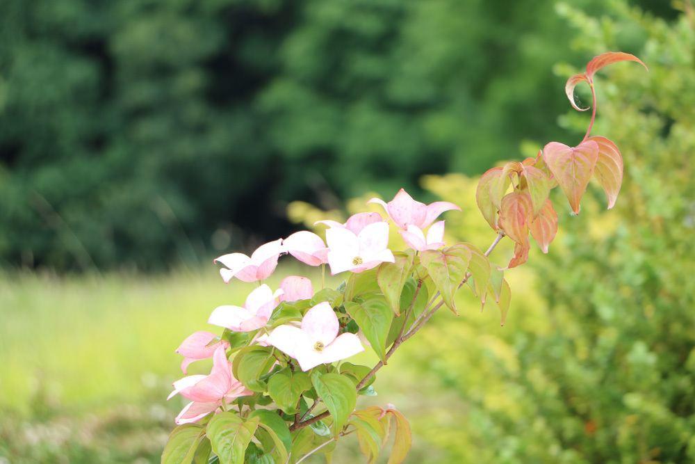 Blumenhartriegel - Cornus