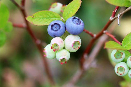 Heidelbeeren - Blaubeeren - Vaccinium myrtillu