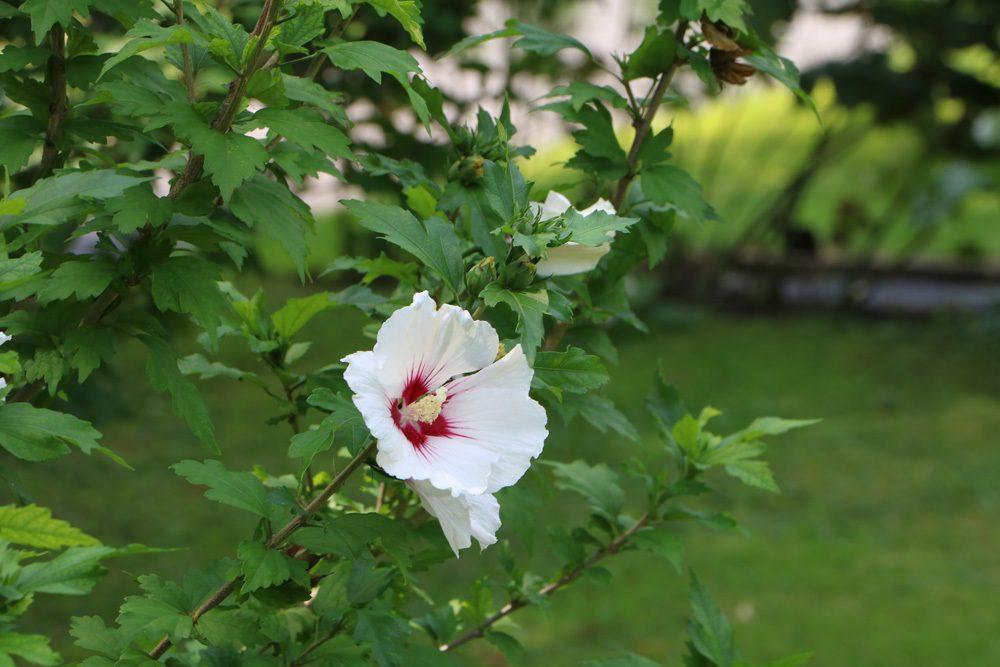 hibiskus pflege anleitung als garten und zimmerpflanze. Black Bedroom Furniture Sets. Home Design Ideas
