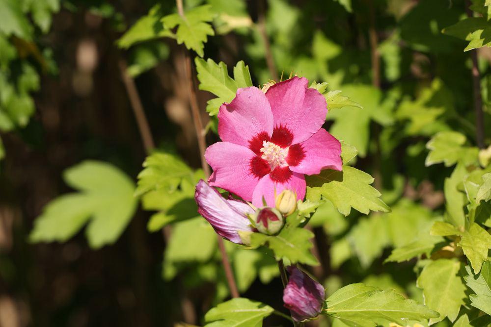 Hibiscus syriacus - Straucheibisch - Gartenhibiskus