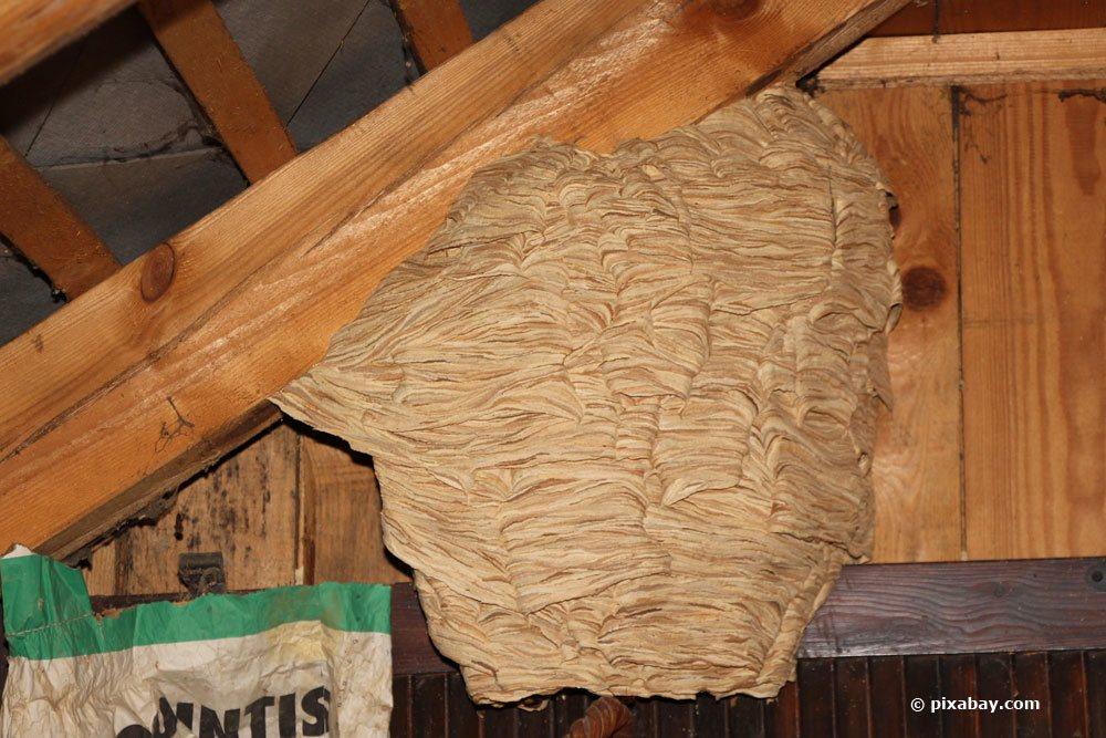 Hornissen-Nest an einem Dachbalken