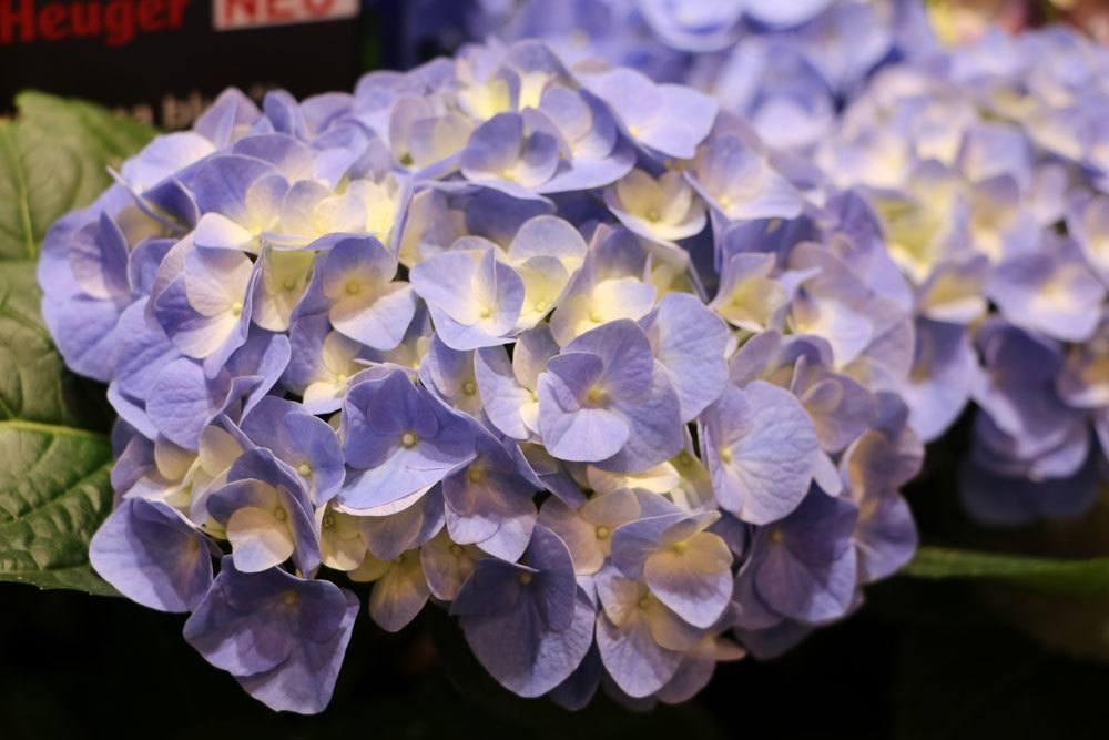 Hortensien trocknen in der vase