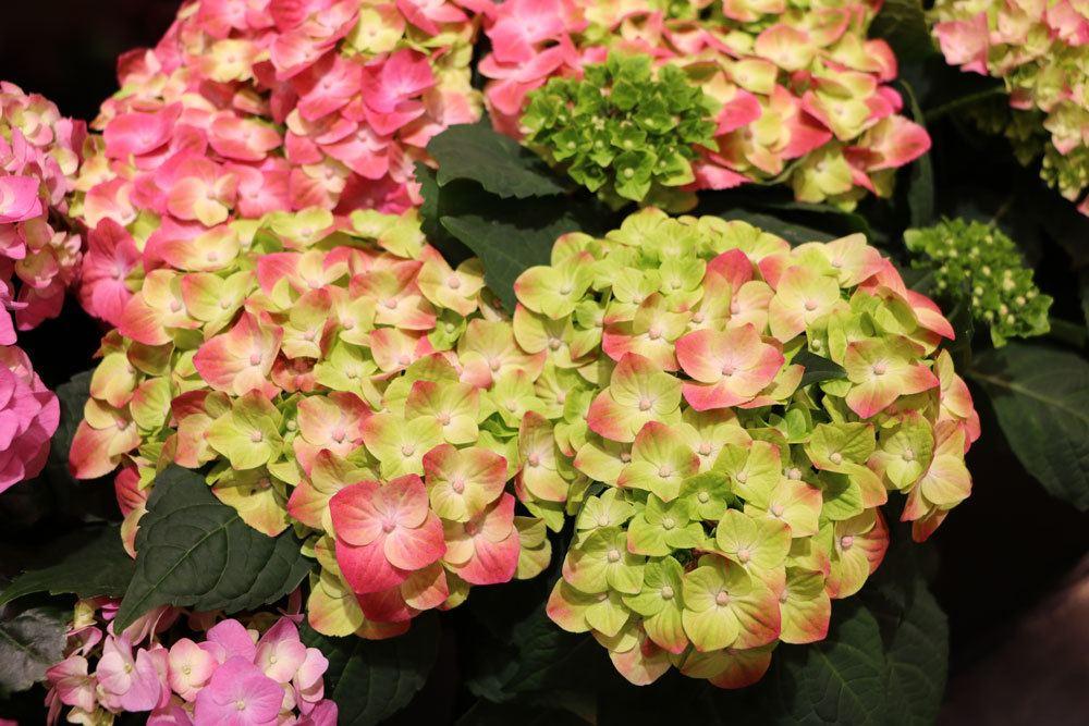 Hervorragend Hortensien trocknen: Anleitung zum Konservieren von Hortensienblüten GS48