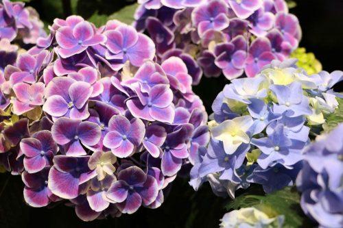 Hortensie, Hydrangea