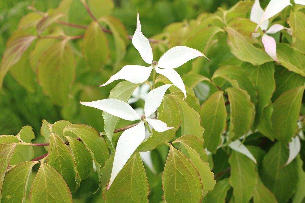 japanischer Blütenhartriegel - Cornus kousa