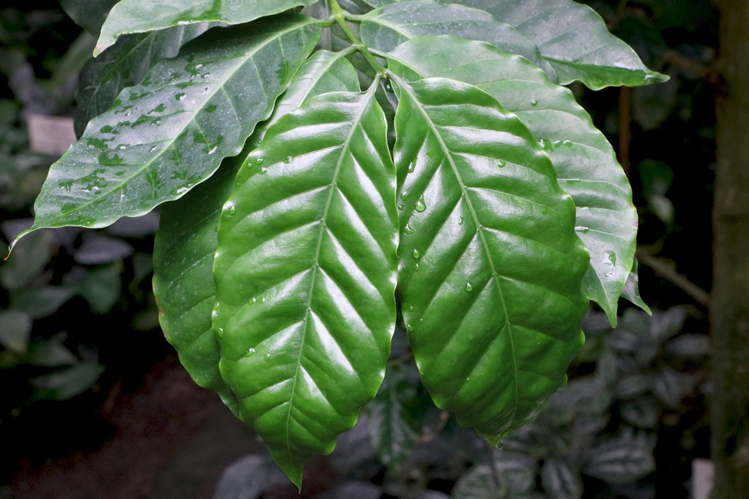 Coffea arabica, Kaffepflanze