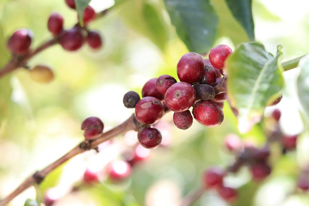 Kaffeepflanze