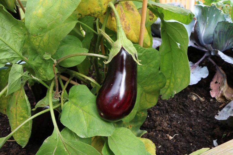 Aubergine, Solanum melongena