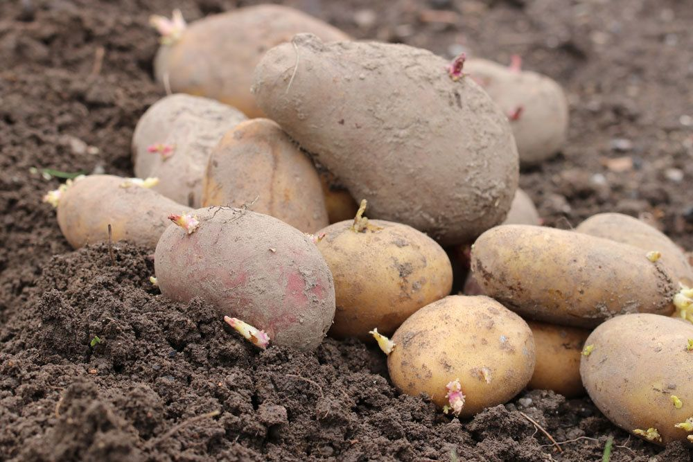 Kartoffeln sind in Deutschland ein Grundnahrungsmittel