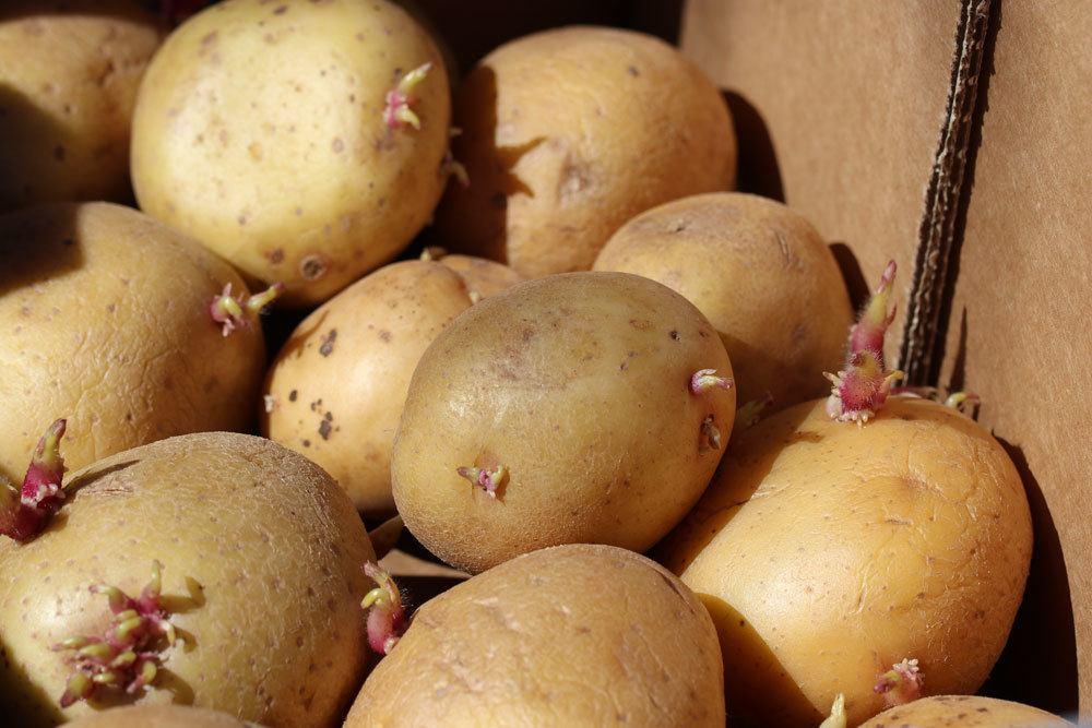 Kartoffelsud gegen Blattläuse an Rosen