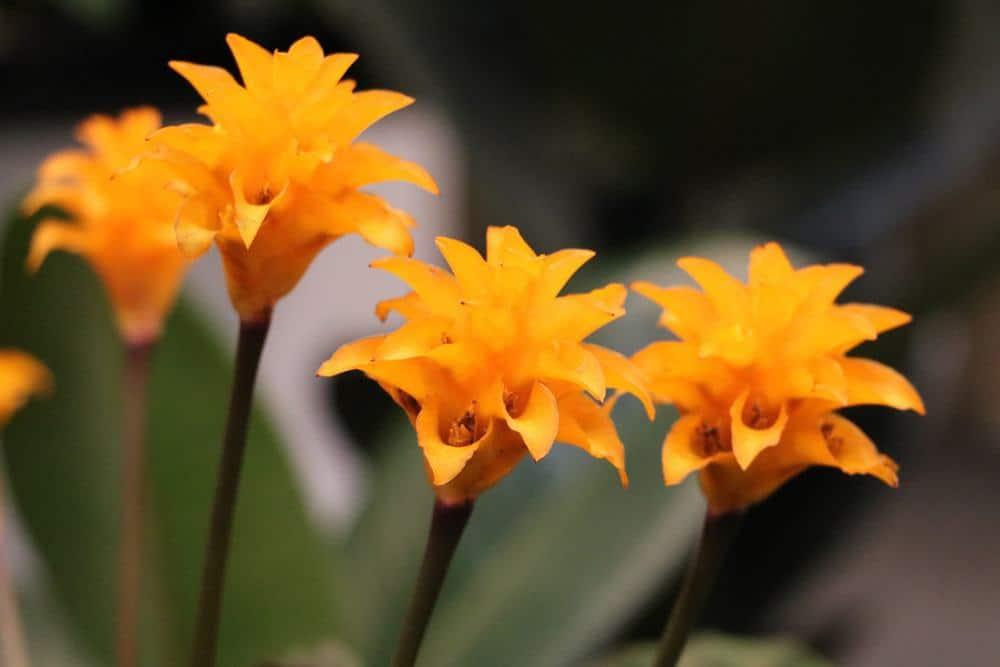 Calathea crocata, Korbmarante