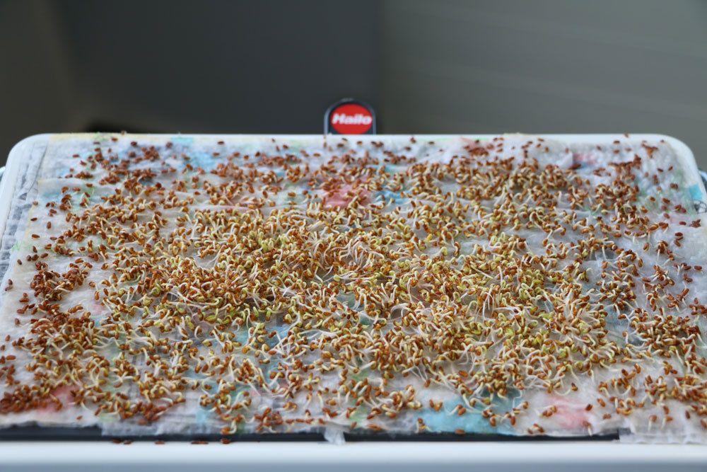 Samen nach dem sprießen häufiger feucht halten