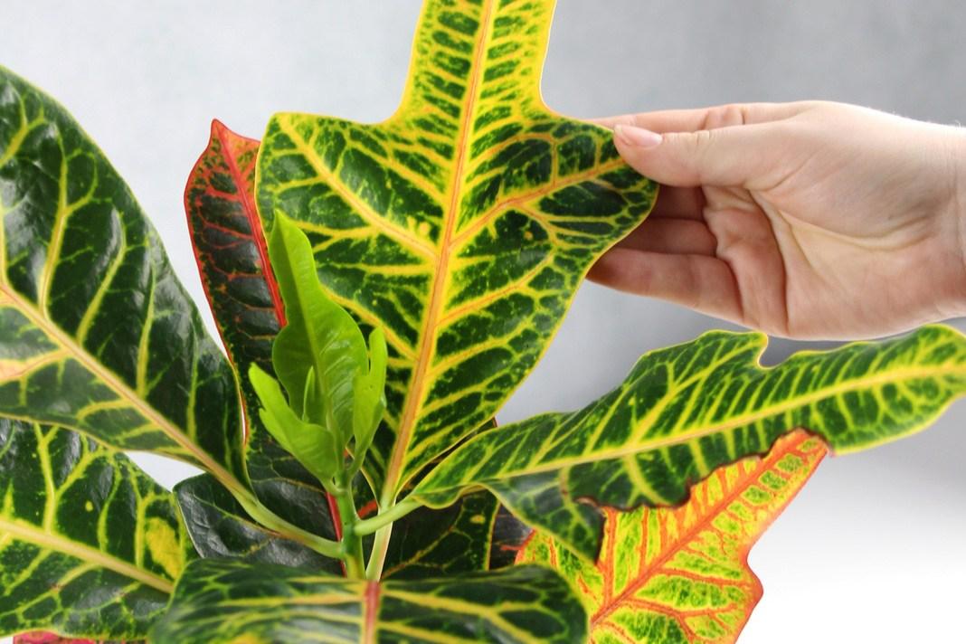 Croton, Codiaeum variegatum, Kroton