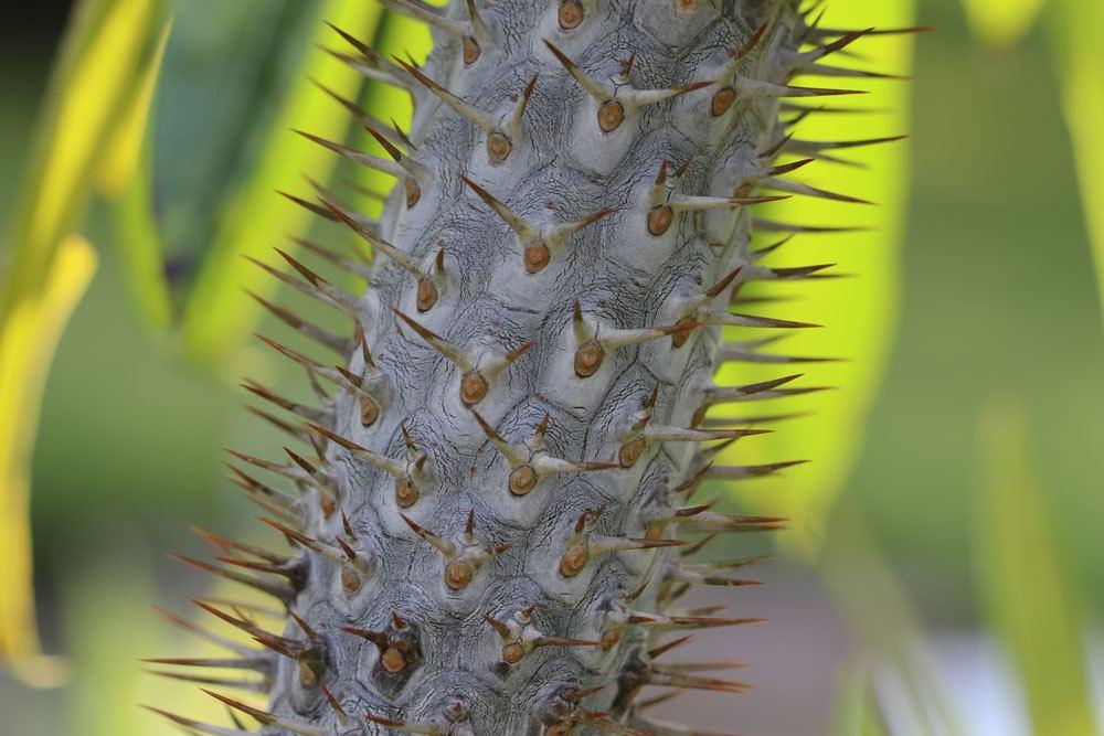 Die Madagaskarpalme lässt sich schwer vermehren