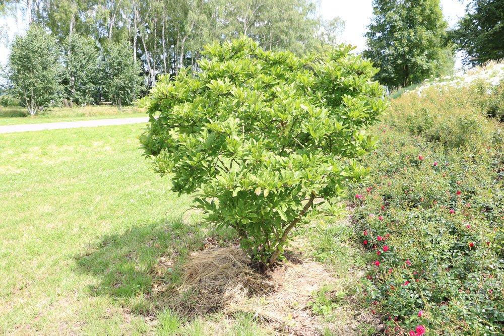 Der magnolie kann Rhododendronerde untergemischt werden