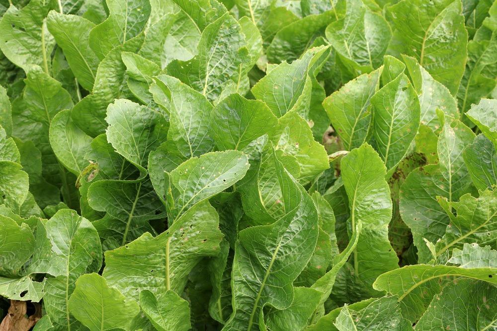 Meerrettich - Armoracia rusticana