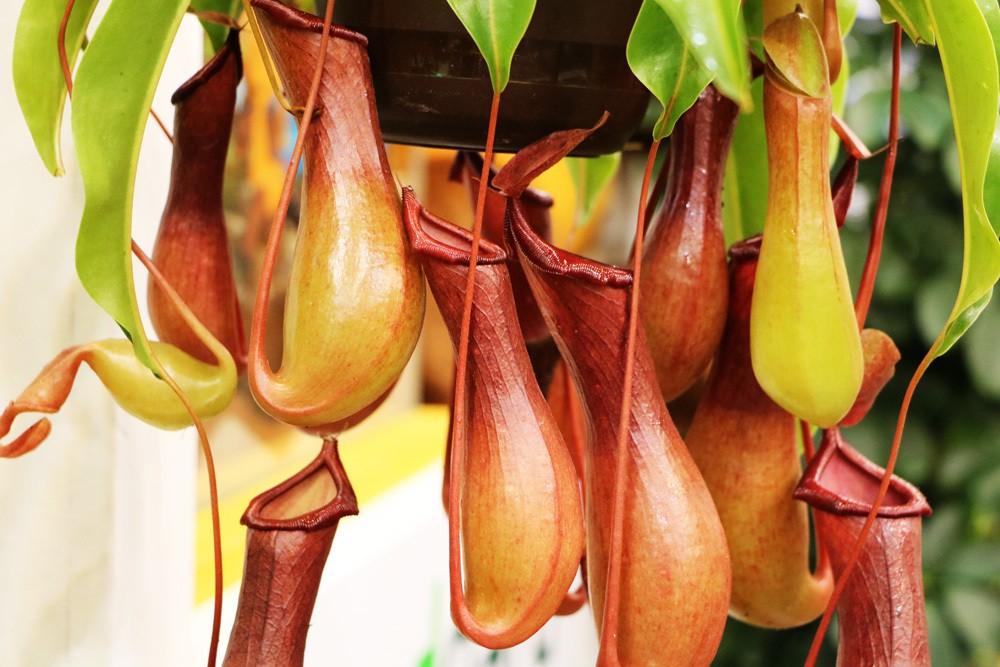 Kannenpflanzen - Nepenthes