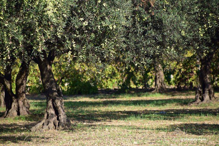 Olivenbaum stammt aus dem mediterranen raum