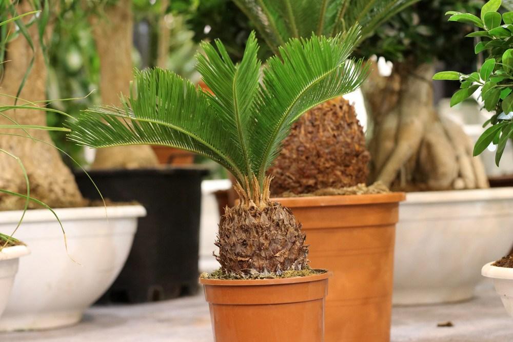 Palmfarn - Cycas revoluta