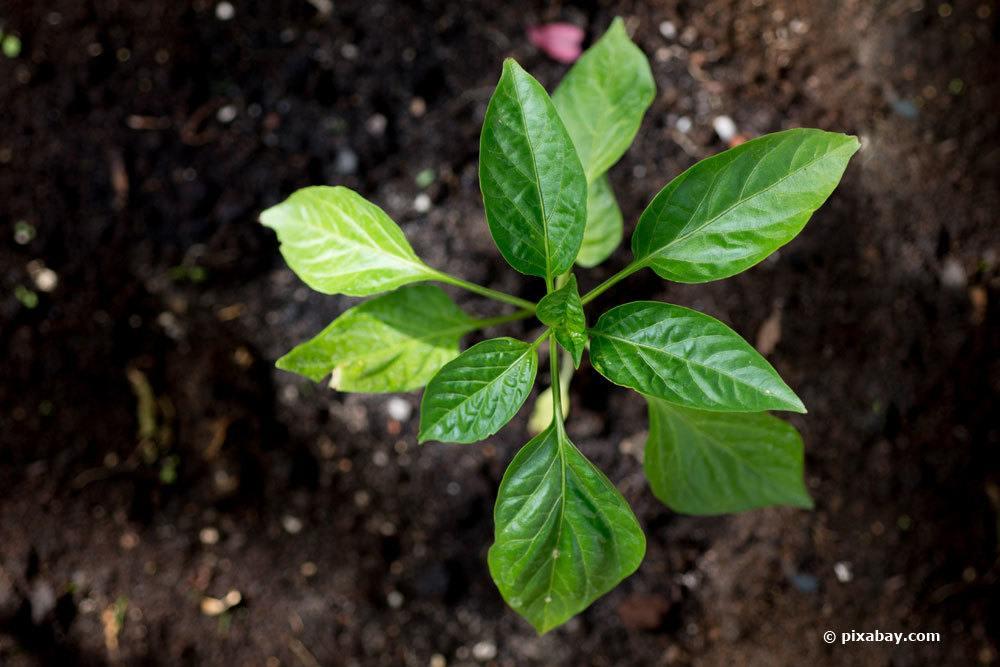 Paprika selbst kultivieren