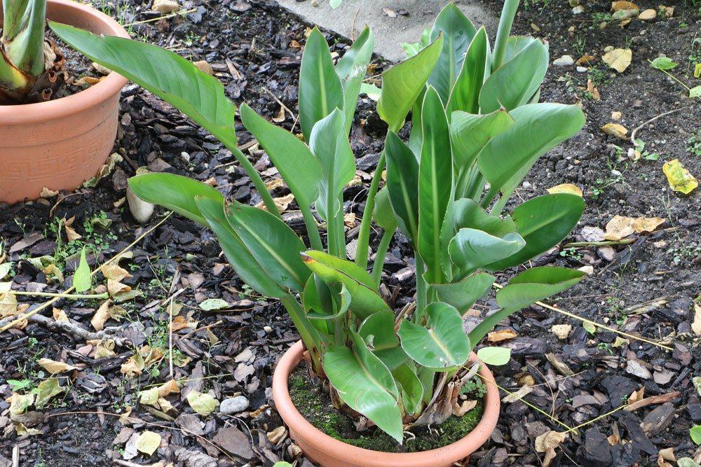 Strelitzia reginae mit immergrünen Blättern