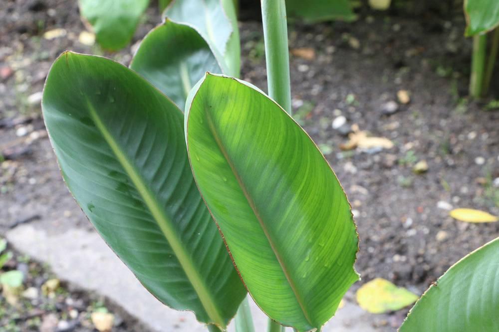 Beliebt Bevorzugt Paradiesvogelblume, Strelitzia reginae - Pflege-Anleitung &LD_22