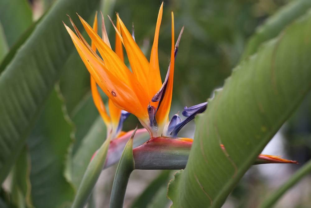 Prächtig Paradiesvogelblume, Strelitzia reginae - Pflege-Anleitung @AE_38