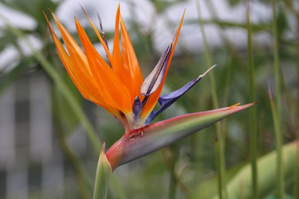 Paradiesvogelblume verbreitet tropisches Flair